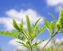 ragweed allergy